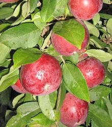 Koloninė obelis MOSKOVSKOJE OŽERELJE