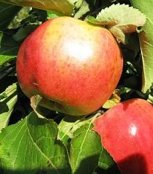 Koloninė obelis VASIUGAN