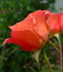Rožė WESTERLAND