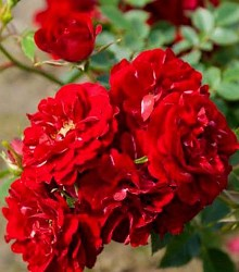 Rožė FAIRY DANCE
