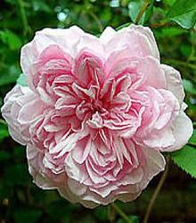 Rožė FRANCOIS JURANVILLE