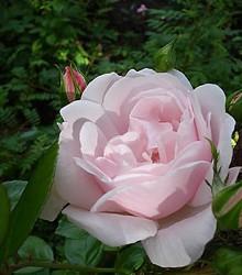 Rožė NEW DAWN