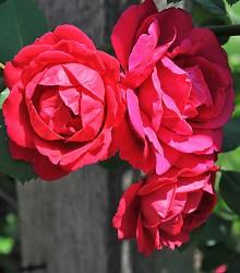 Rožė PAUL'S SCARLET CLIMBER