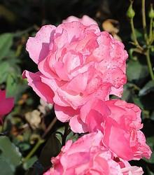 Rožė TOM TOM