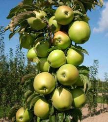 Koloninė obelis BOLERO
