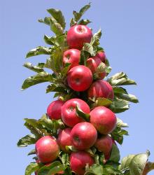 Koloninė obelis FLAMENKO