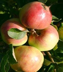 Koloninė obelis POLKA