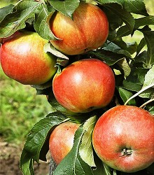 Koloninė obelis BAIBA